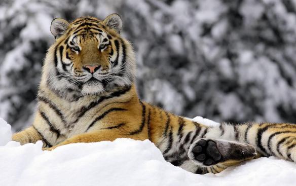 siberian-tiger-e-entertainment