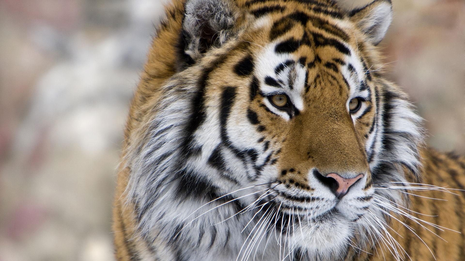 nws-st-siberian-tiger-close