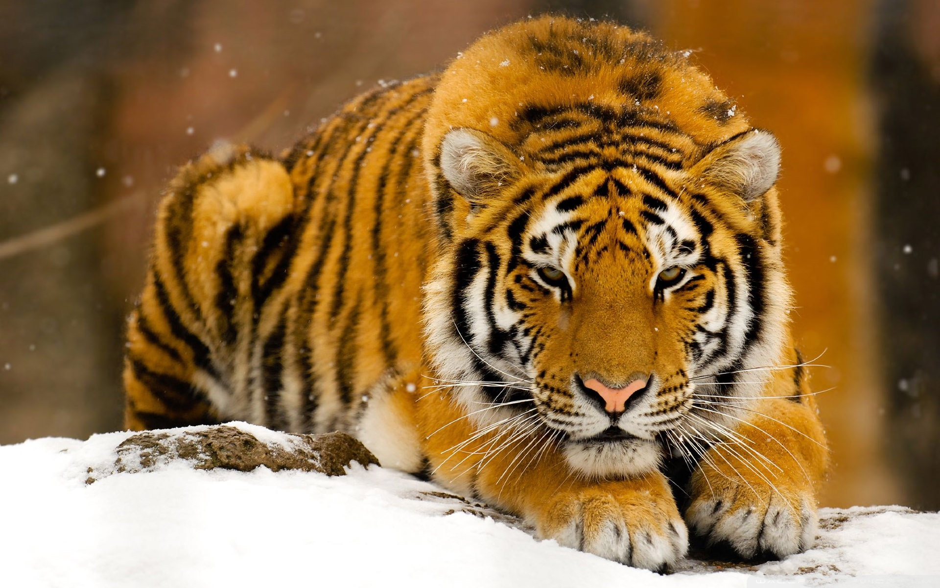siberian_tiger_in_snow-wallpaper-1920x1200